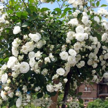 Альба роза