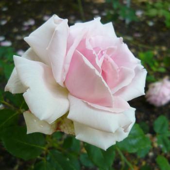 Бурбон розы