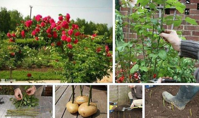 Черенки роз в картошке