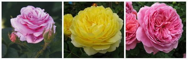 Галльская роза