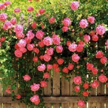 Гибридные вечные розы
