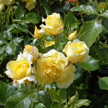 Китайские розы