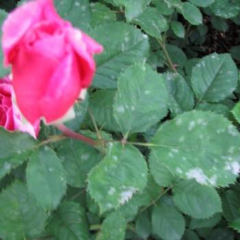 Мучнистая роса роз симптомы