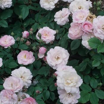 Нуазеттовые розы