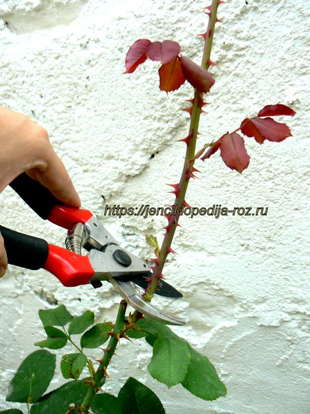 Длинная обрезка роз