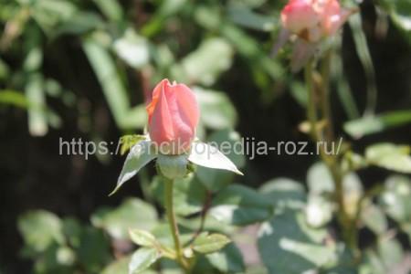 Советы для новичков: как не загубить комнатные розы 1