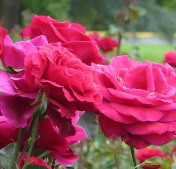 Портленд Розы