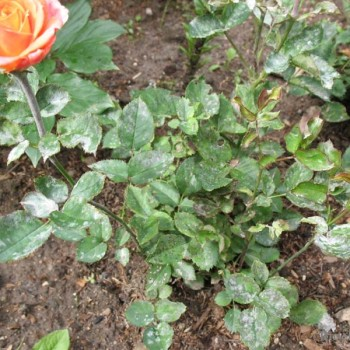 Пурпуровая пятнистость роз общий вид