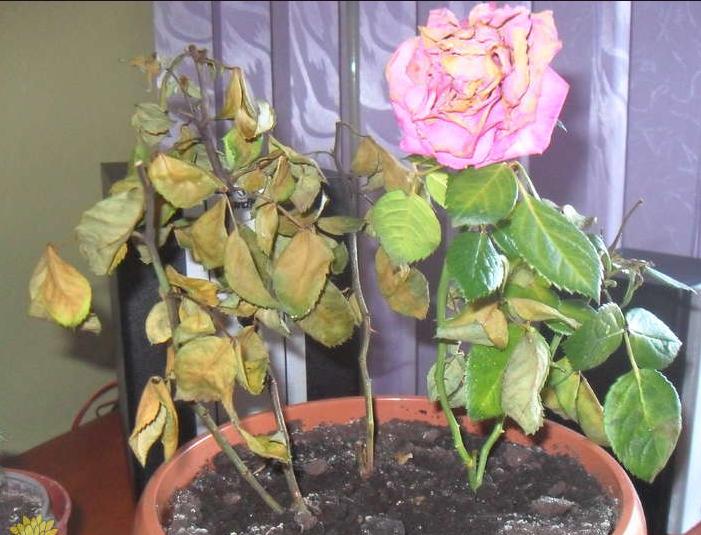 Результат недостаточного полива роз