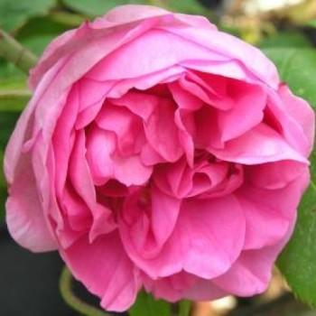 Роза Centifolia