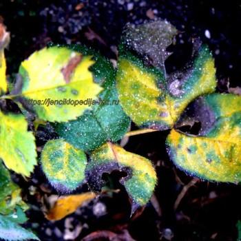 Признаки заболеваний и вредителей роз 3