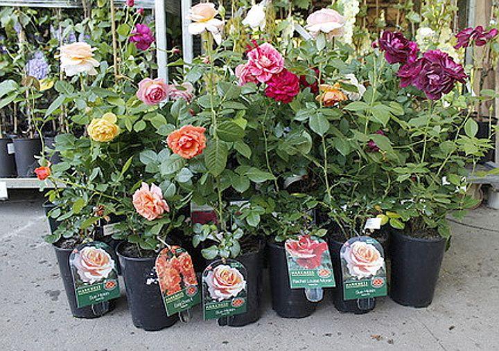 Розы в контейнерах