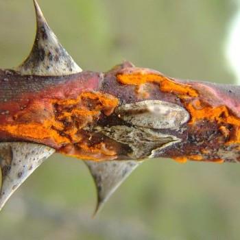 Ржавчина на стебле розы