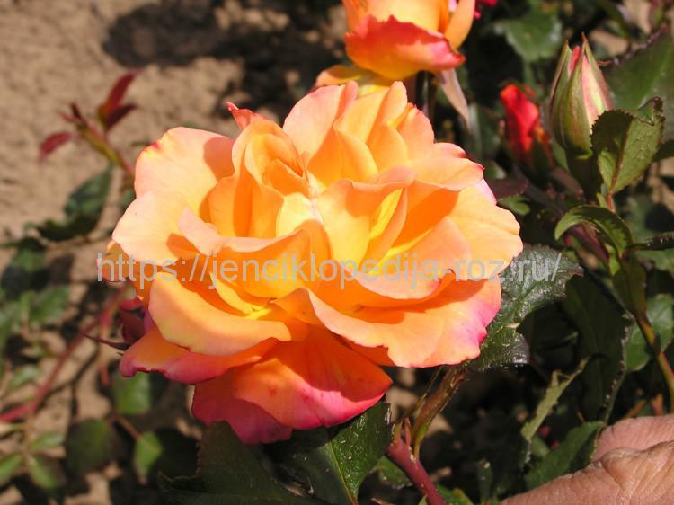 Роза – описание, виды и сорта, фото, посадка, уход, болезни