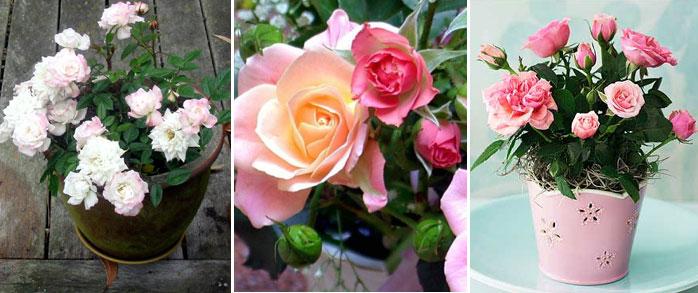 Уход за розами в контейнере