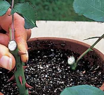 Вегетативное размножение роз