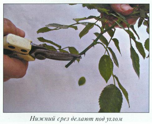 Заготовка черенков роз