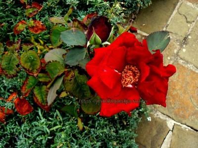 Начальная стадия засыхания роз при неправильном поливе