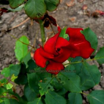 Признаки заболеваний и вредителей роз 1