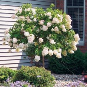 Солитерные посадки роз