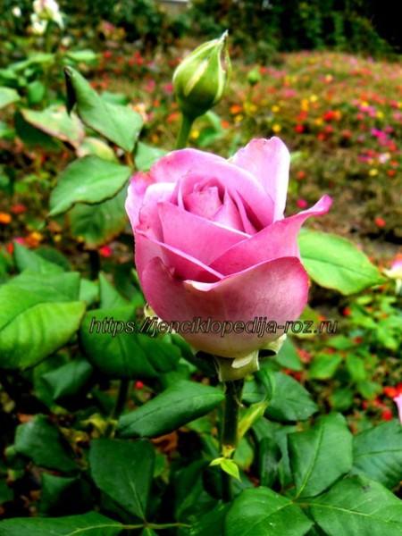 Весенняя роза