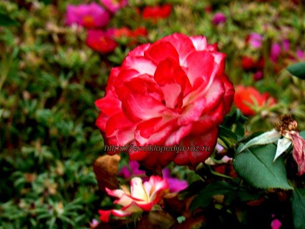красивая красная роза