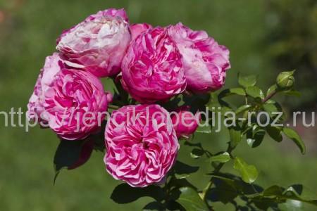 Здоровые пышные розы