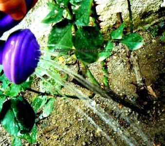 Летняя подкормка роз