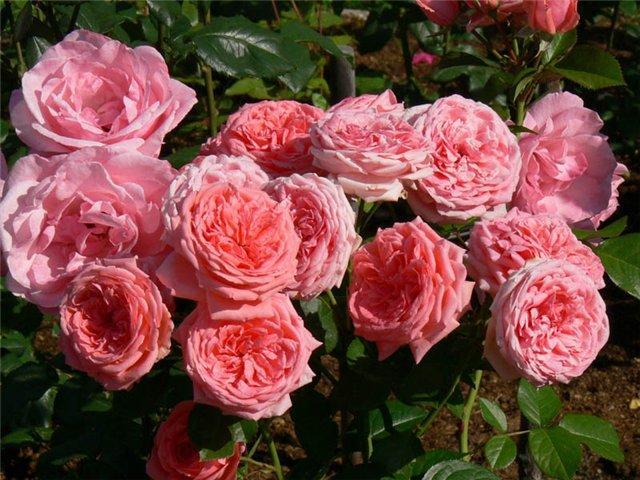 Розы Флорибунда 1