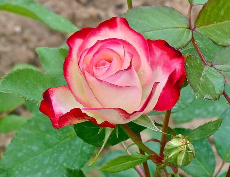 гибрид чайной розы