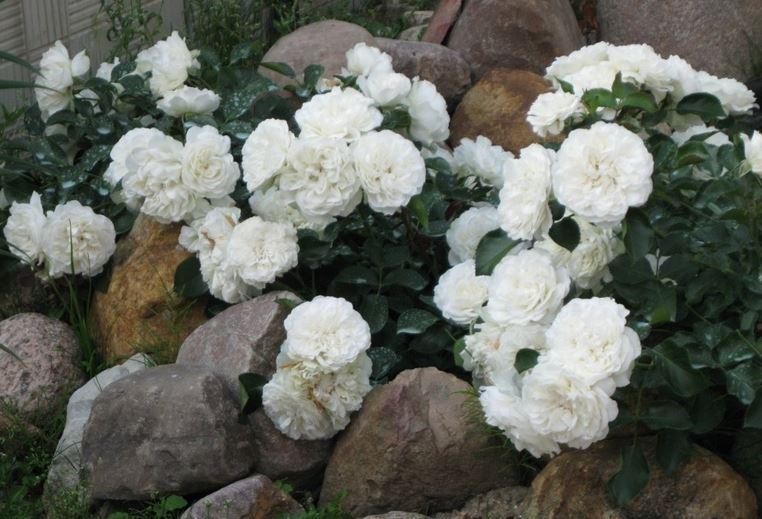 крупные почвопокровные розы