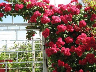 плетистые розы рамблер