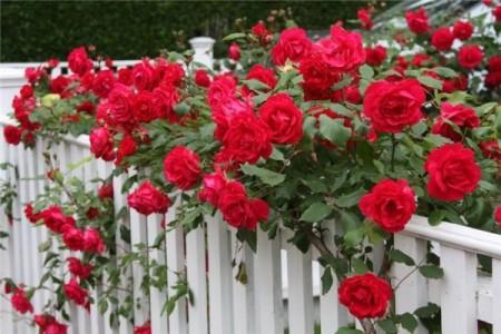 плетущиеся розы 2