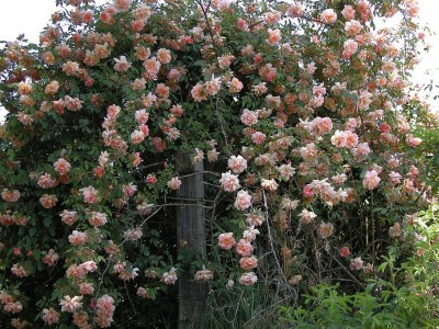 плетущиеся розы клаймбер