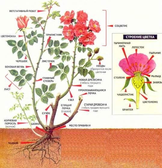 строение розы схема