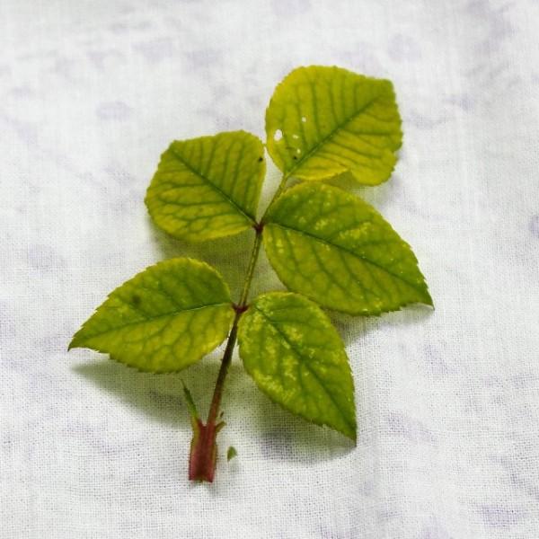 хлороз на розах