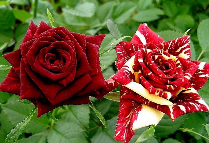 Привитые и собственнокорневые розы
