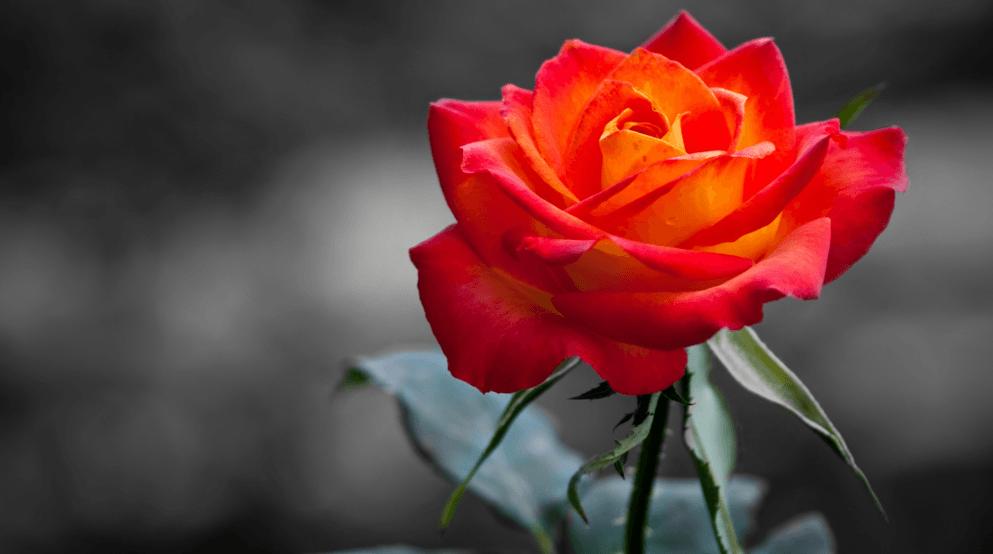 Изменение цвета розы - почему цветы меняют цвет в саду 1