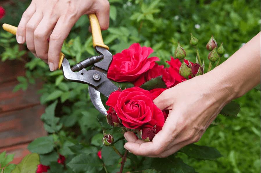 Уход за розами и обрезка. 1