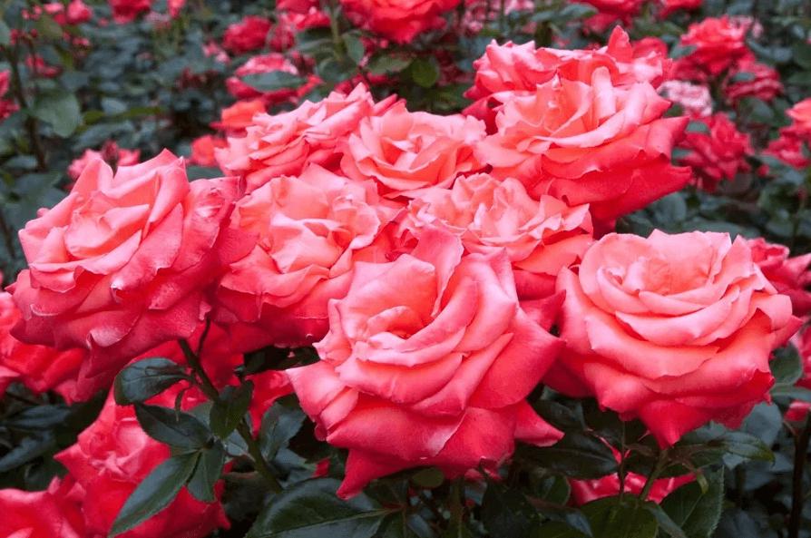Руководство: как получить здоровую плантацию роз