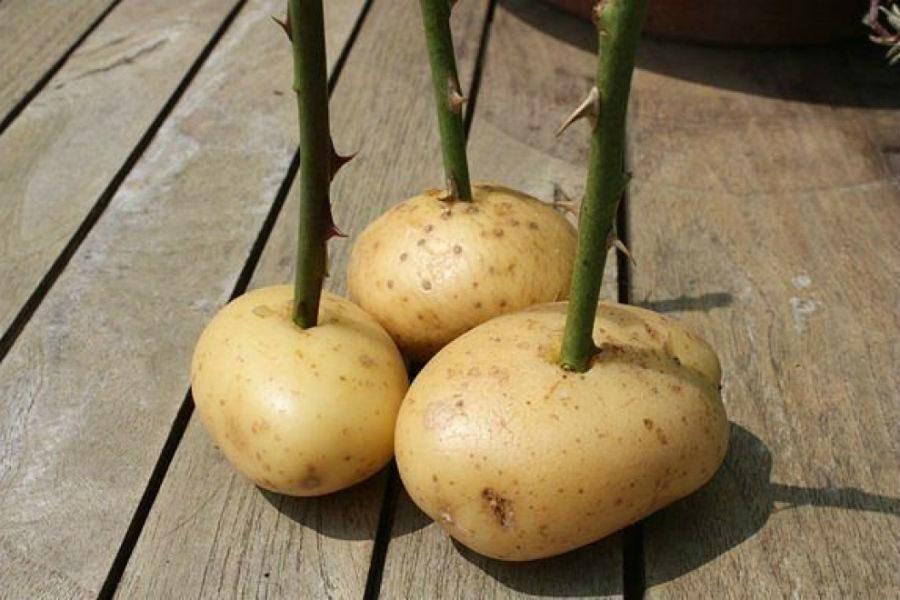 Как вырастить розы с помощью картофеля