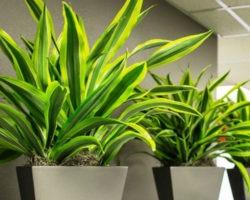 Драцена: принципы ухода, лучшие виды для выращивания в домашних условиях