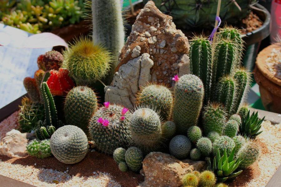 кактусы и суккуленты
