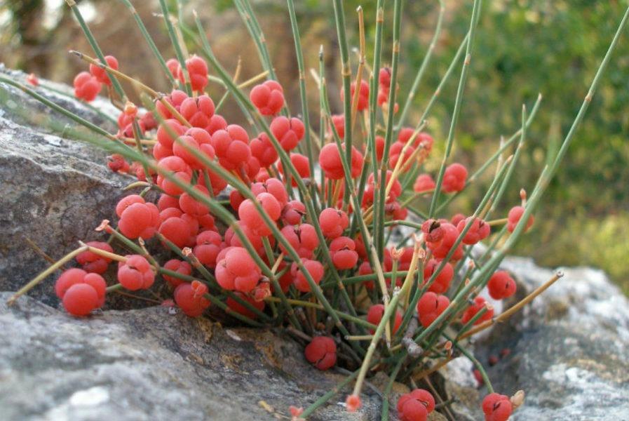 растения эфироносы